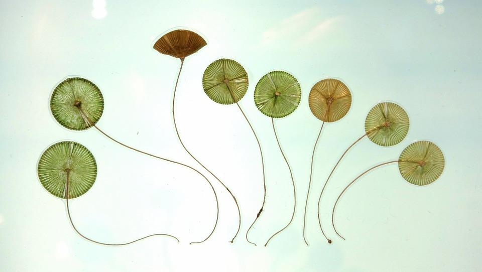 acetabularia-ryukyuensis-872218_960_720